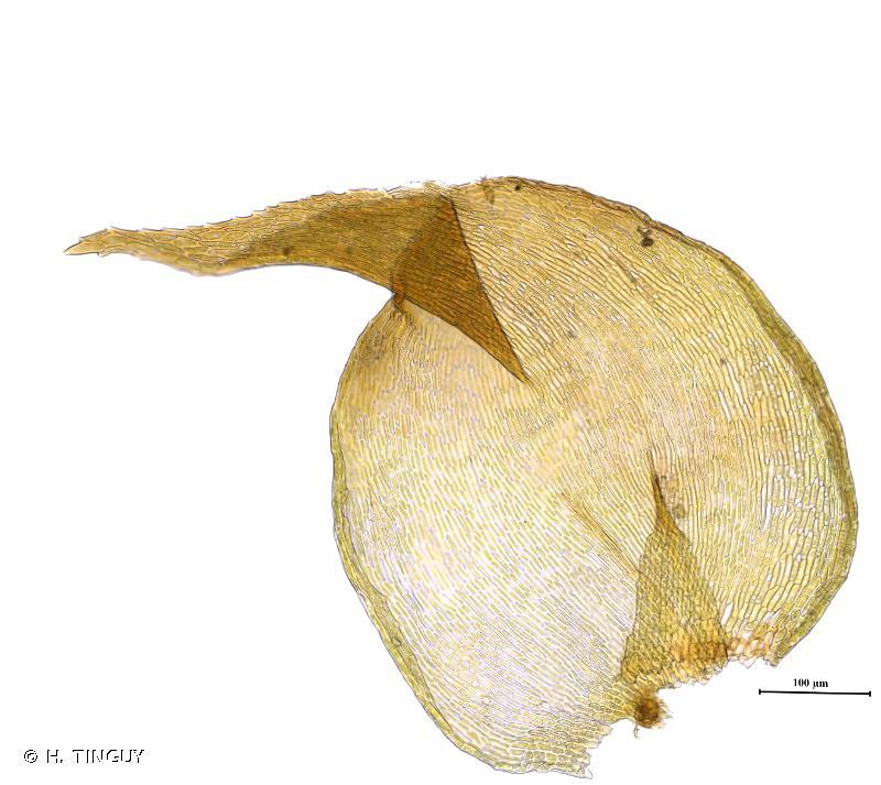 Campylophyllum halleri