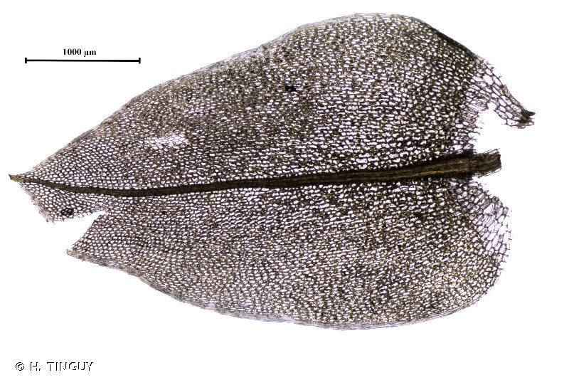 Ptychostomum schleicheri