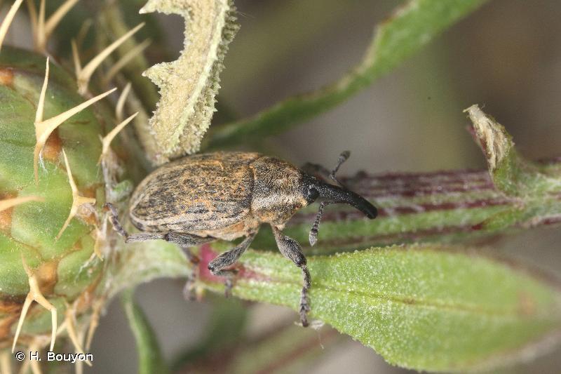 Larinus longirostris