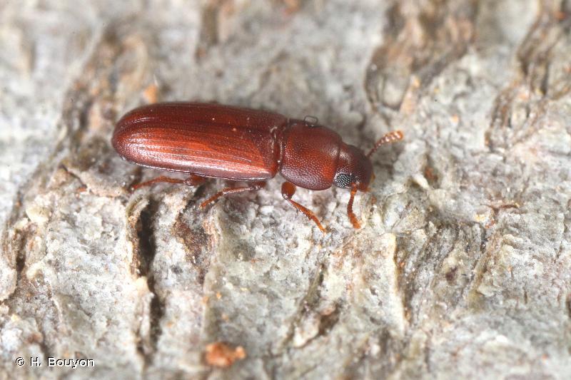 Palorus subdepressus