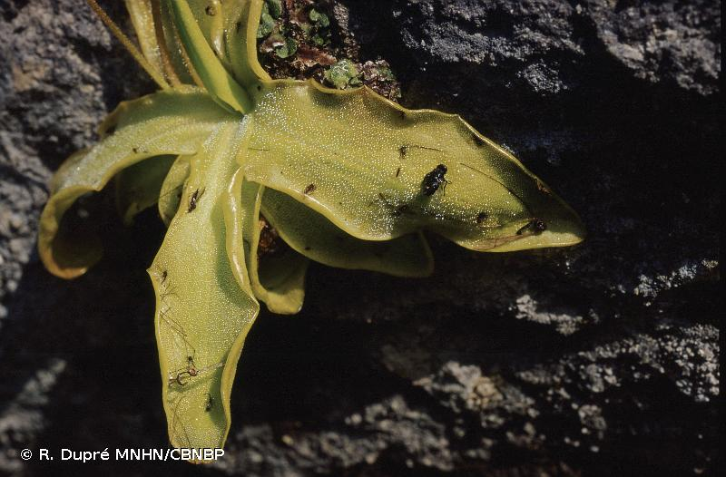 Pinguicula longifolia subsp. caussensis
