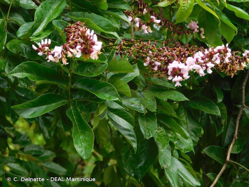 Lonchocarpus roseus
