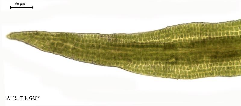Campylostelium saxicola