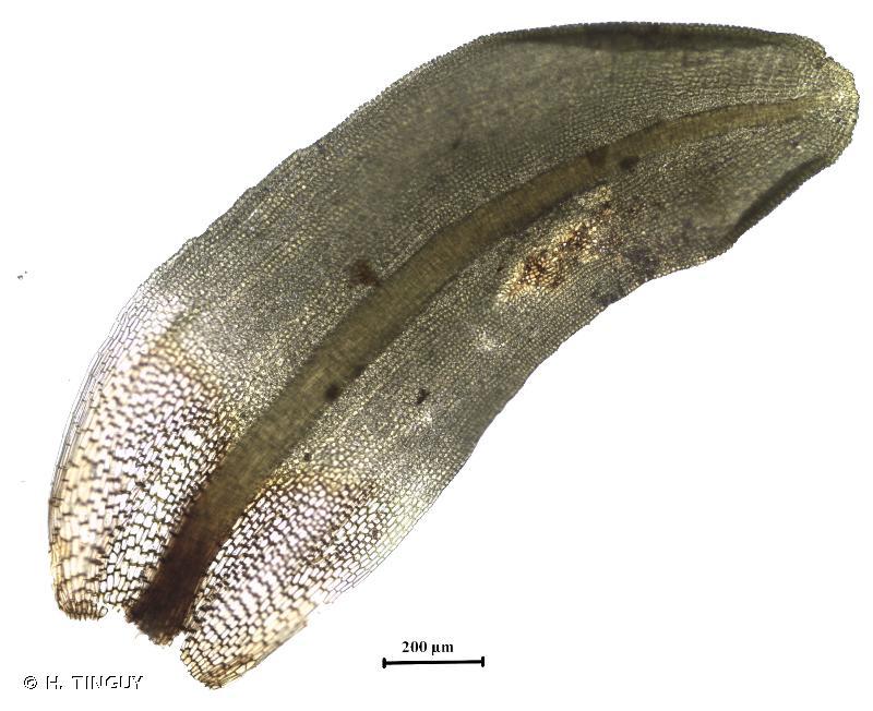 Encalypta vulgaris