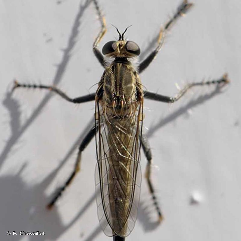 Philonicus albiceps