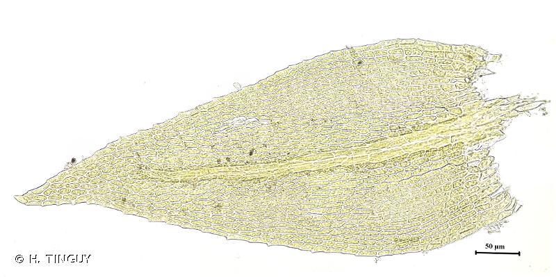 Microeurhynchium pumilum