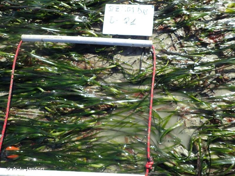 08.1 - Herbiers de <em>Zostera marina</em> - Convention OSPAR