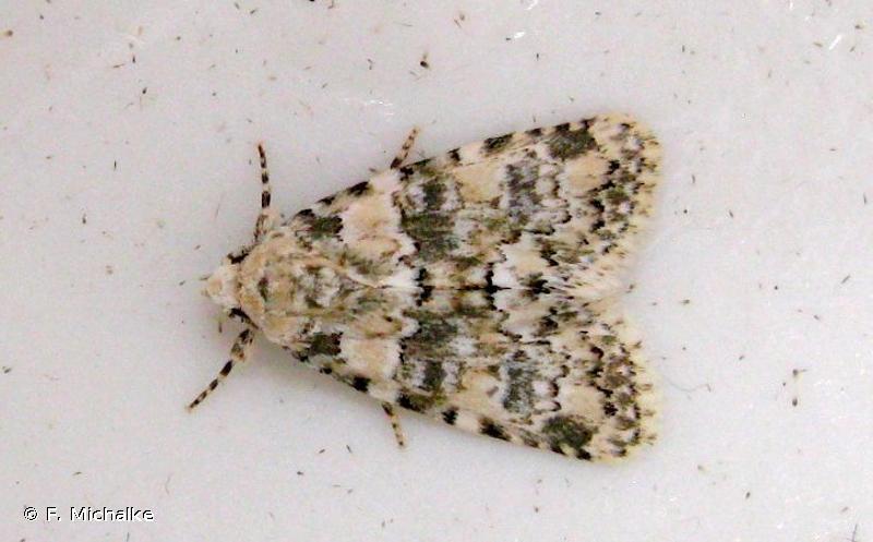 Bryophila domestica