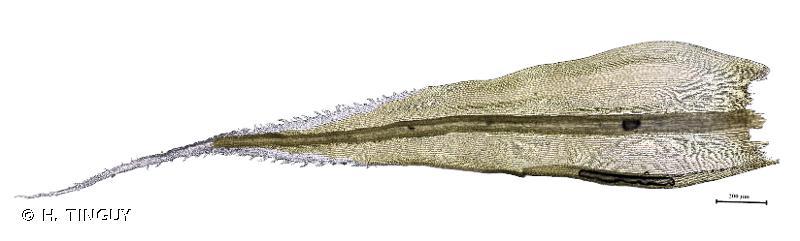 Racomitrium lanuginosum