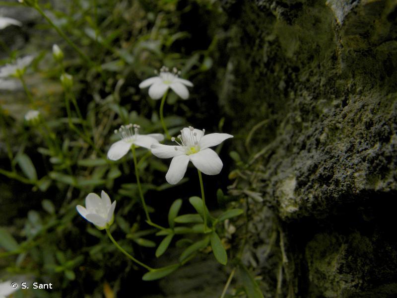 Moehringia lebrunii
