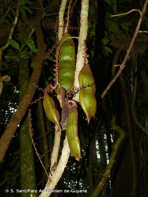 Dioclea macrocarpa