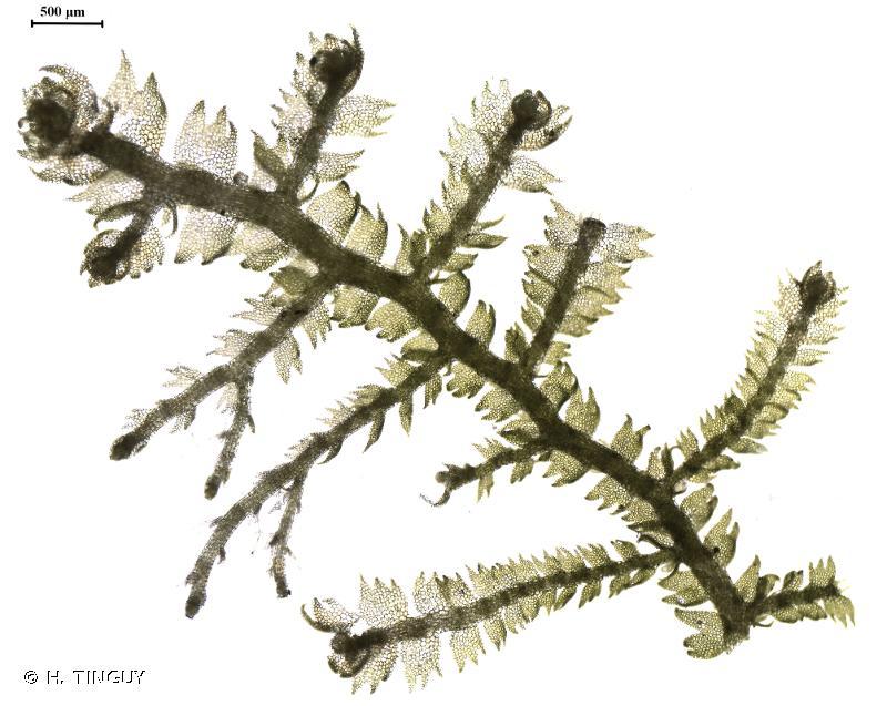 Lepidozia reptans