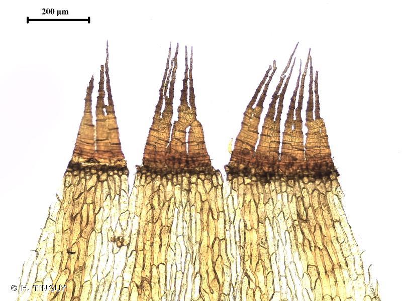 Cynodontium polycarpon