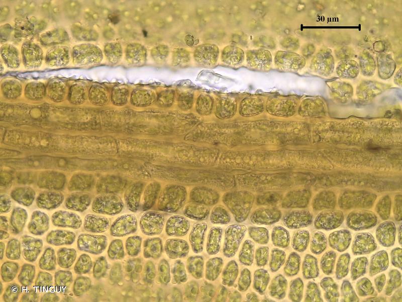 Didymodon ferrugineus