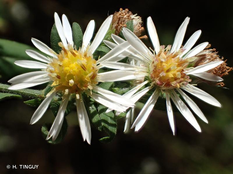 Symphyotrichum lanceolatum