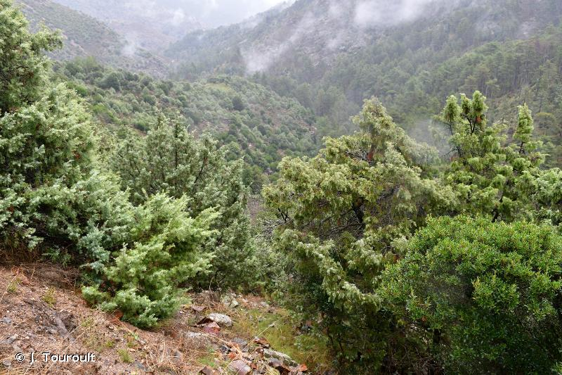 Chênaie verte et juniperaie de Vallica