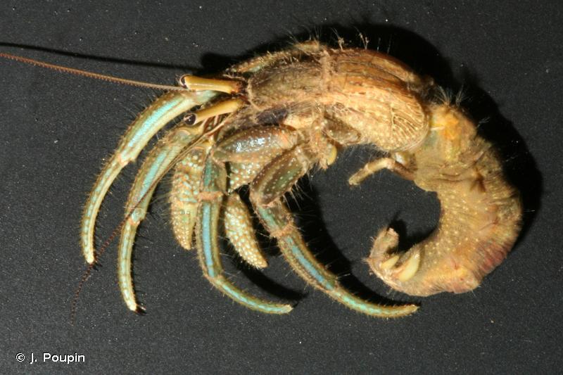 Clibanarius longitarsus