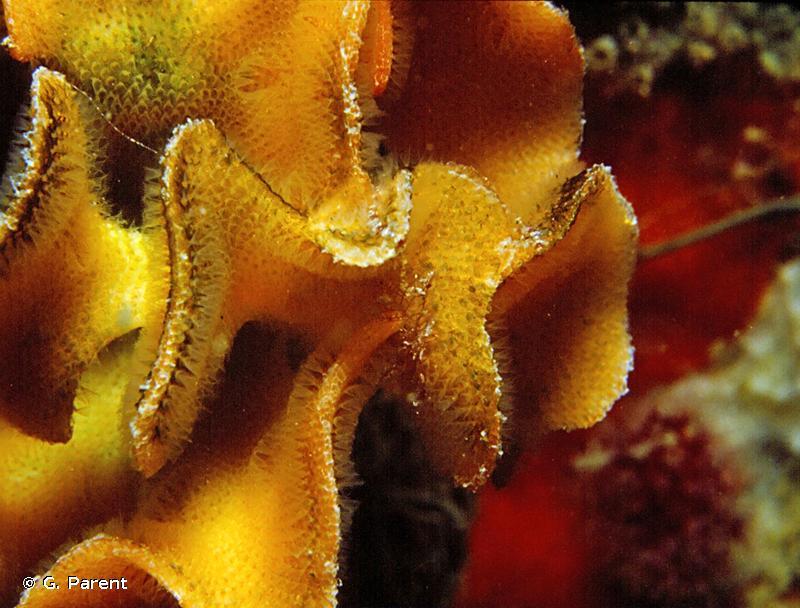 Pentapora fascialis
