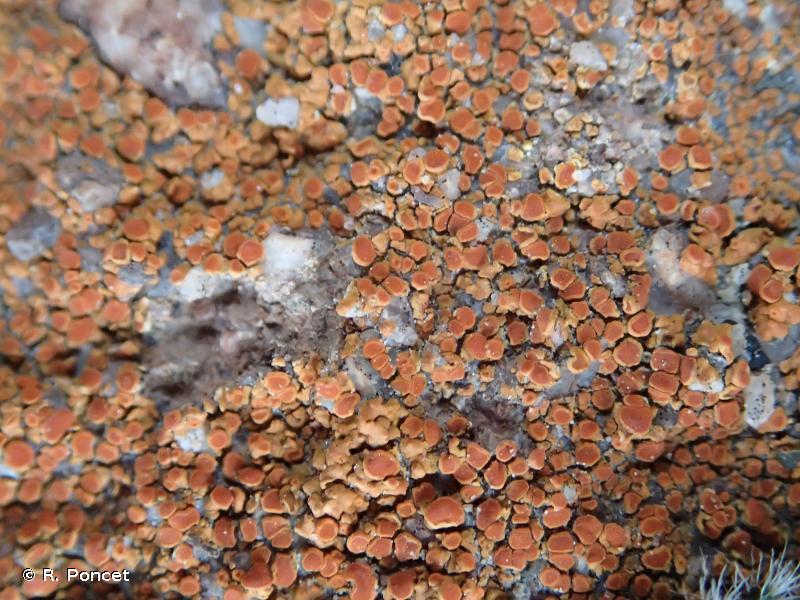 Caloplaca irrubescens