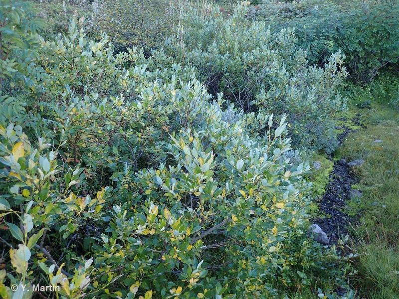 Salix bicolor