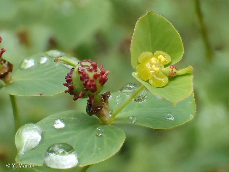 Euphorbia dulcis subsp. incompta
