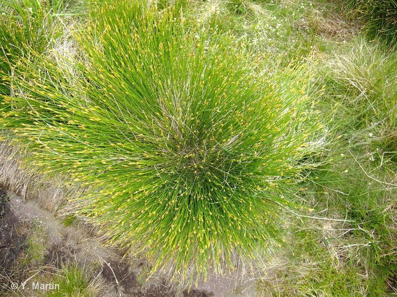 Trichophorum cespitosum subsp. germanicum
