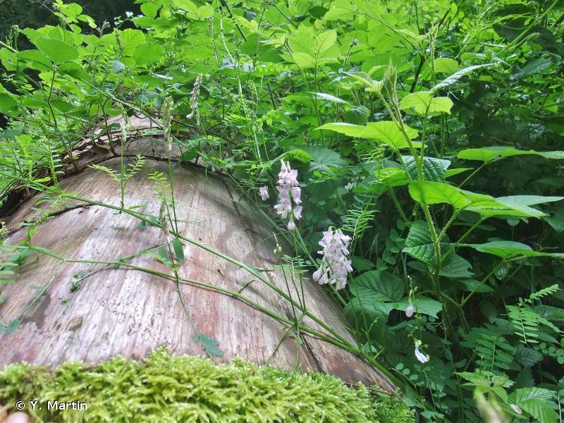 Ervilia sylvatica