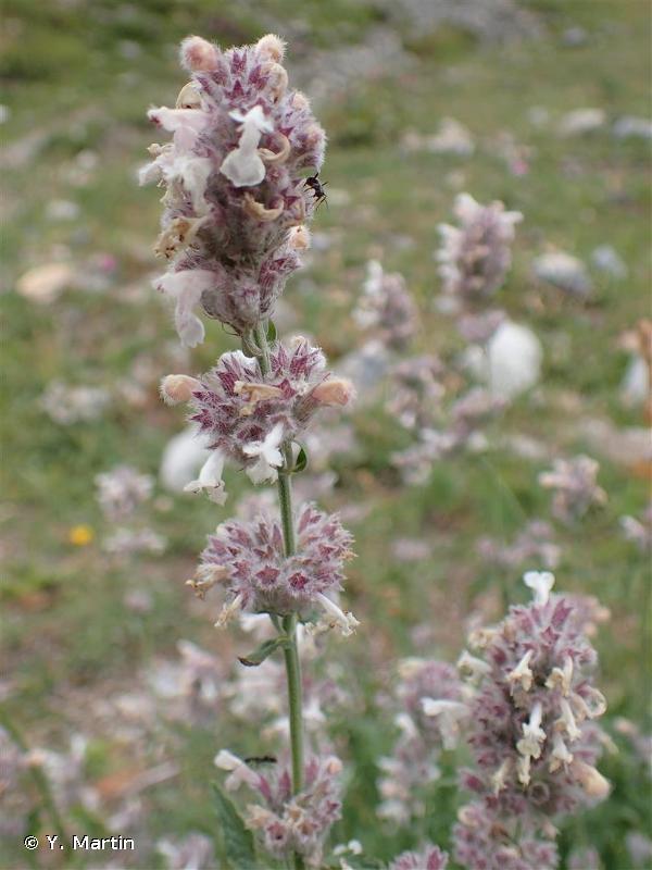 Nepeta nepetella subsp. nepetella