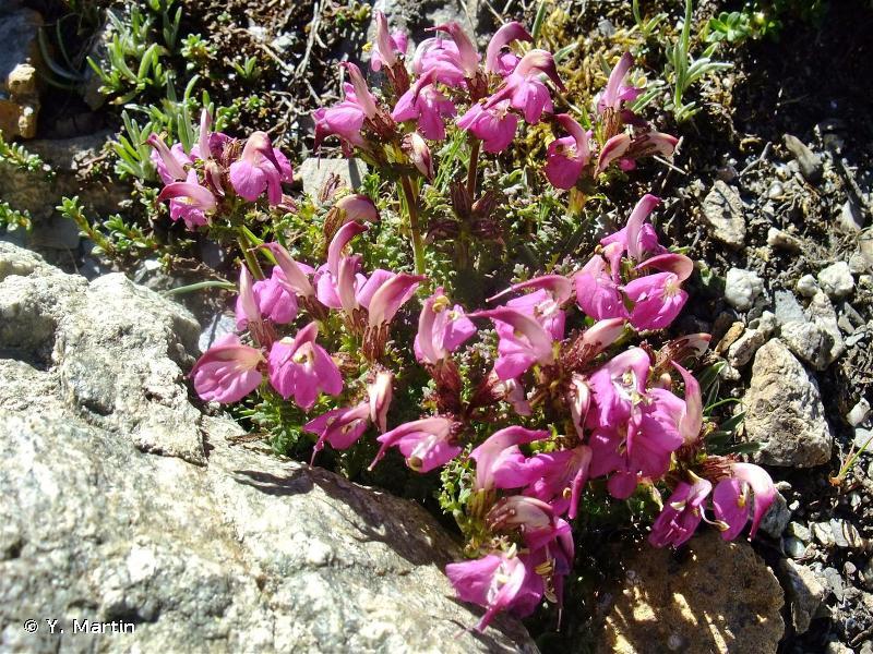 Pedicularis cenisia