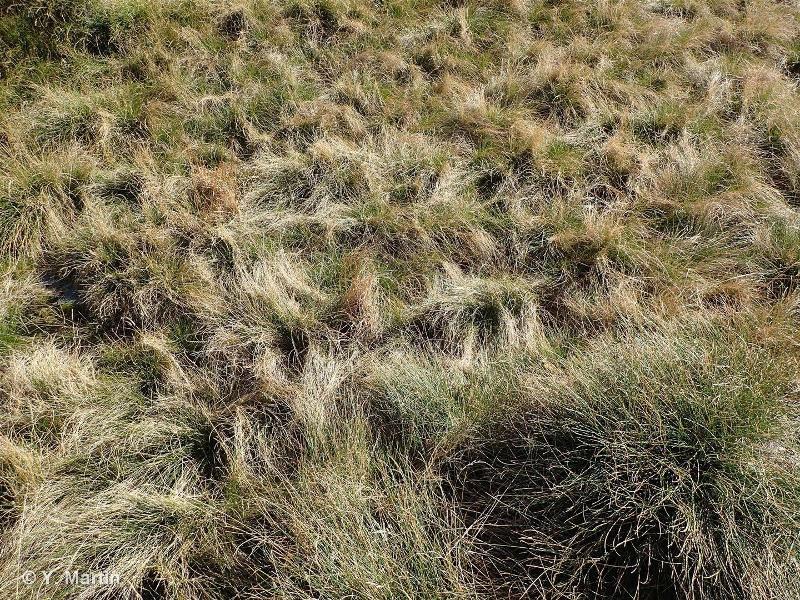 36.311 - Nardaies mésophiles pyrénéo-alpines - CORINE biotopes