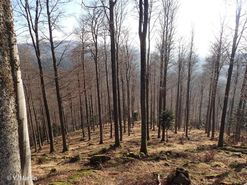 41.112 - Hêtraies montagnardes à Luzule - CORINE biotopes