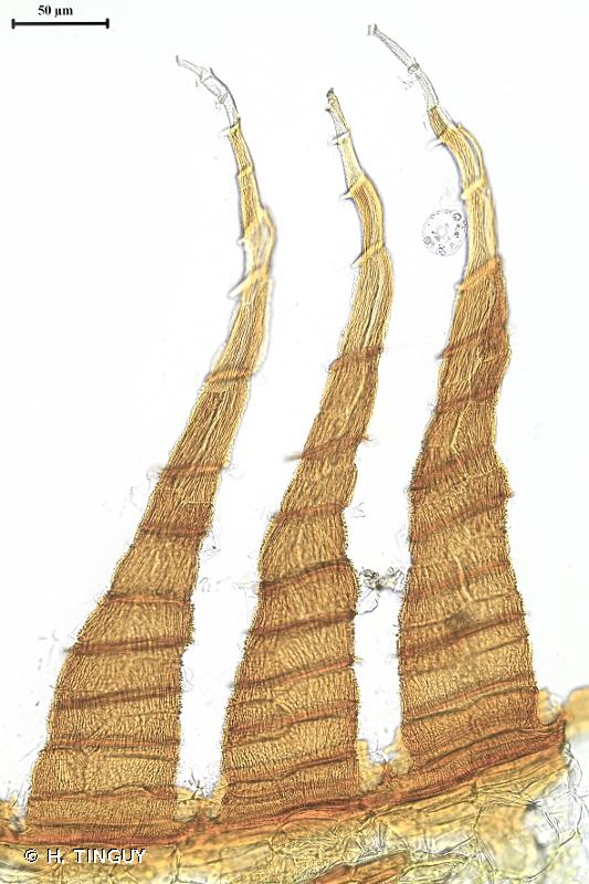 Entosthodon muhlenbergii