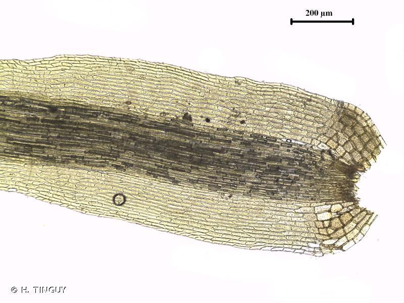 Paraleucobryum sauteri