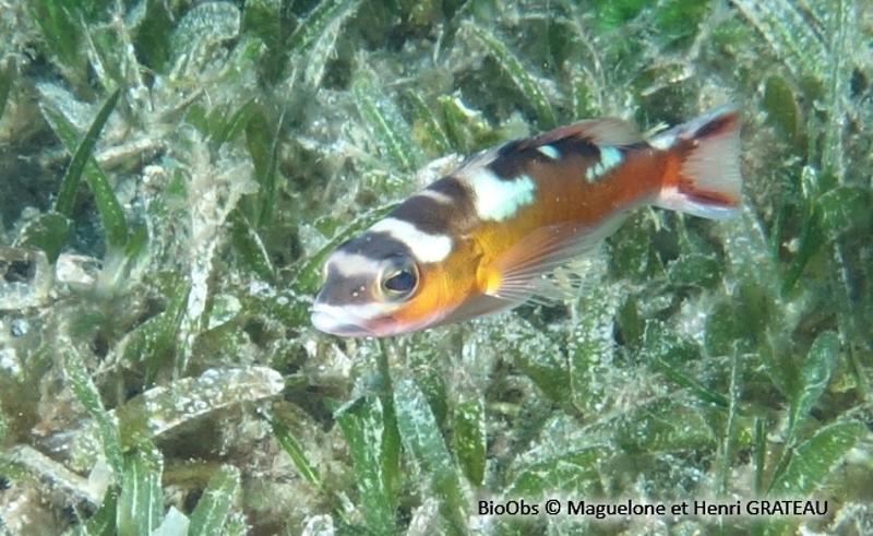 Serranus tabacarius