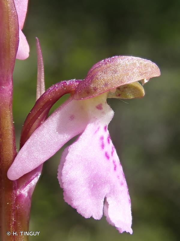 Orchis spitzelii