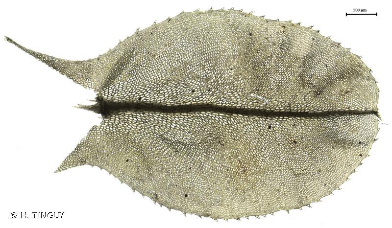 Plagiomnium elatum