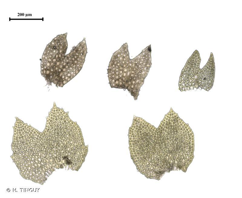 Crossocalyx hellerianus
