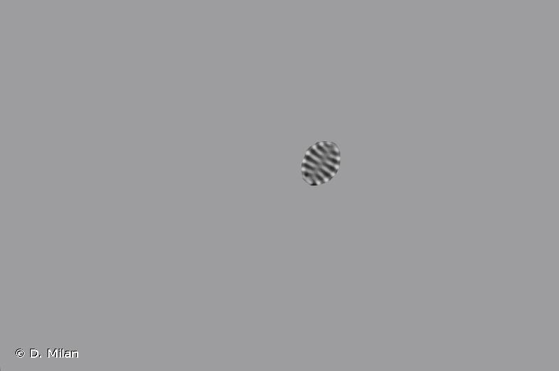 Staurosirella pinnata