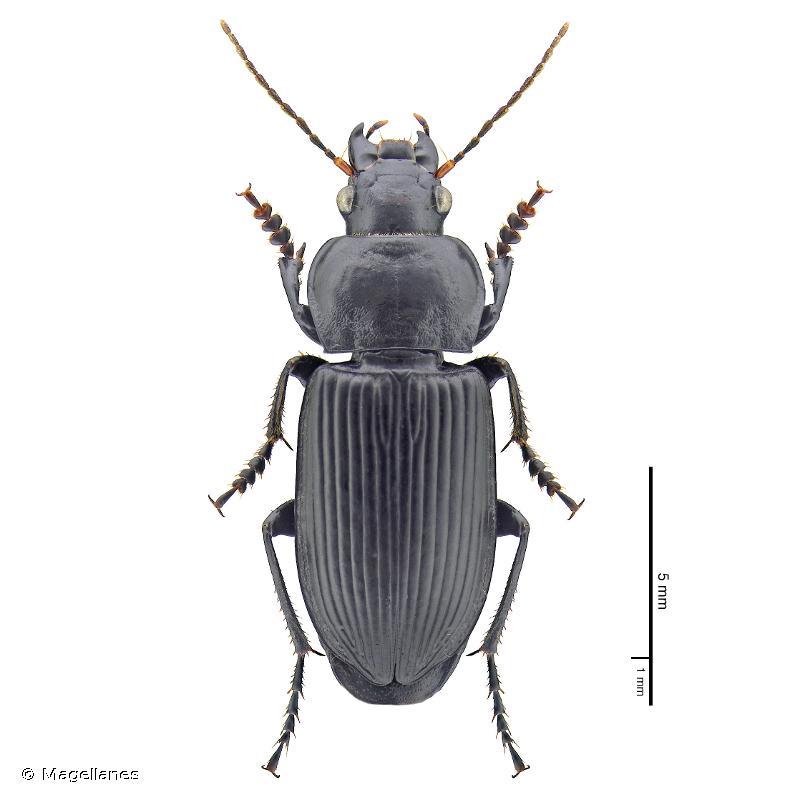 Anisodactylus binotatus