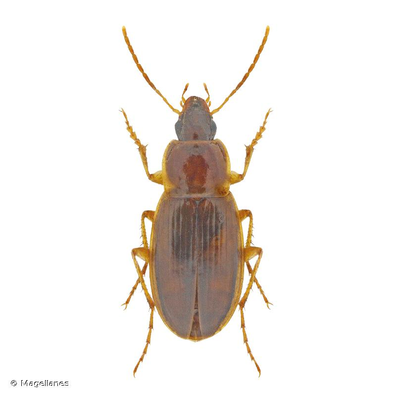 Calathus mollis