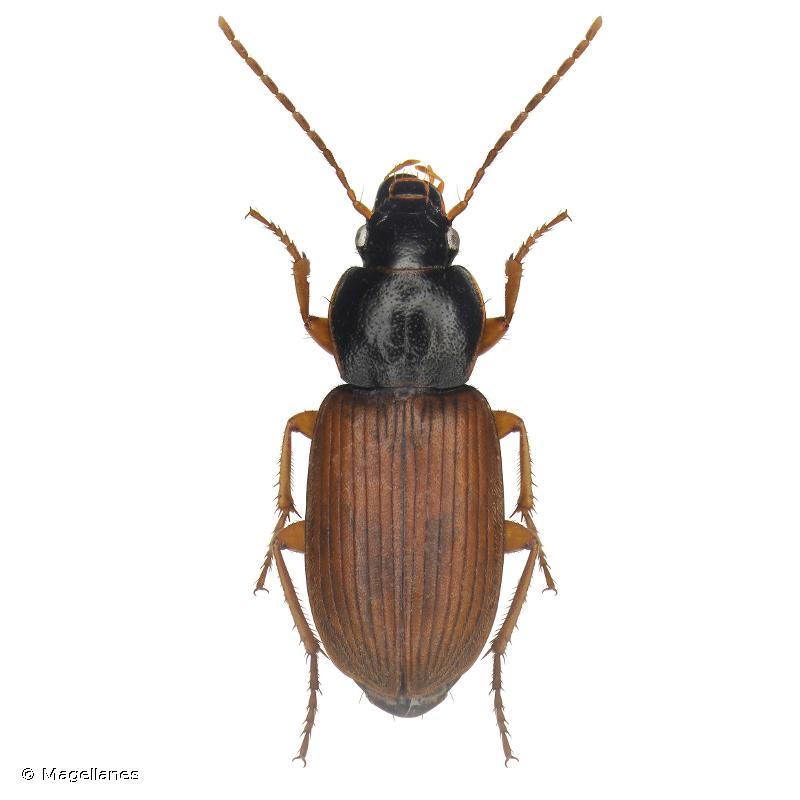 Parophonus mendax