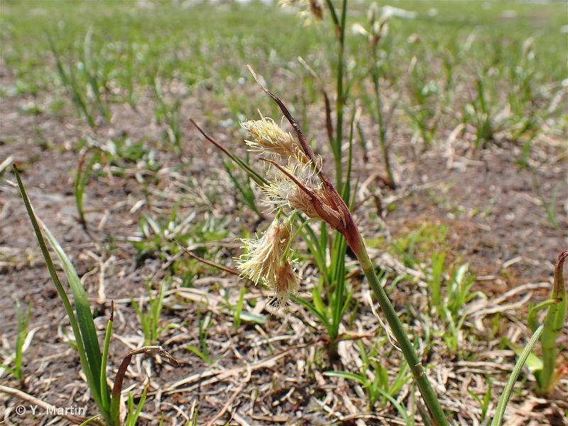 Eriophorum angustifolium subsp. angustifolium