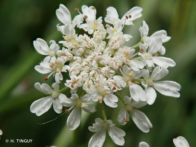 Oenanthe peucedanifolia