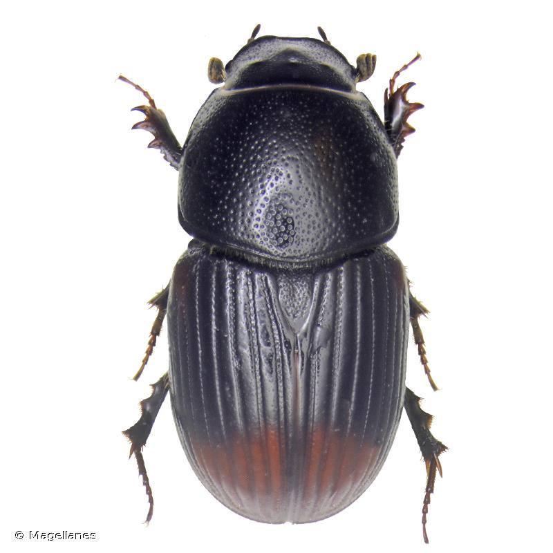 Otophorus haemorrhoidalis