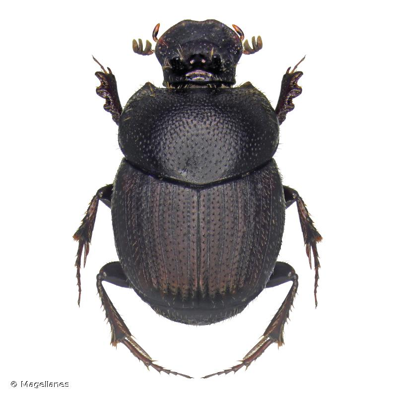 Onthophagus furcatus