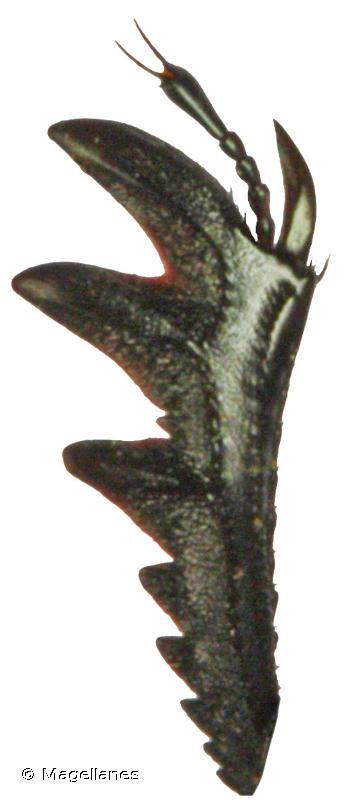 Gymnopleurus mopsus