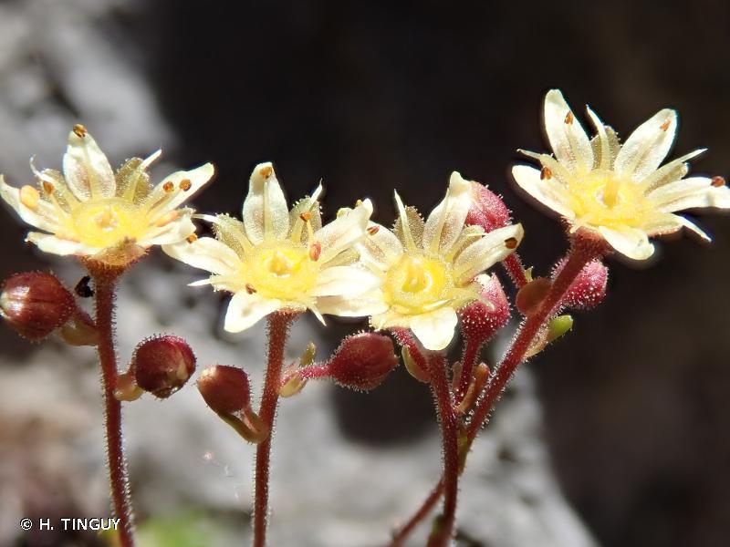 Saxifraga exarata subsp. exarata