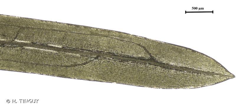 Potamogeton berchtoldii