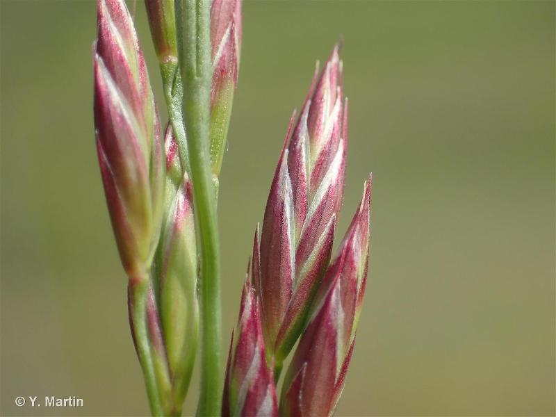 Schedonorus arundinaceus