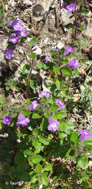 Ziziphora granatensis subsp. granatensis